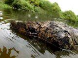 River Lea Crocodile?