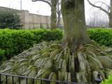 Thomas Hardy's Tree